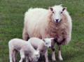 Овцы с ягнятами, Белинский