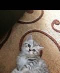 Шотландские котята, Тамбов