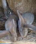 Крольчата немецкой породы Агути и Белый Ризен, Старая Купавна