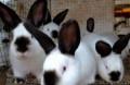 Калифорнийские крольчата, Наровчат