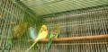 Волнистые молодые попугайчики, Кузнецк