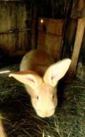 Кролик, Великие Луки