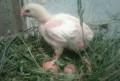Цыплята бройлеры 22 дня, Новый Оскол