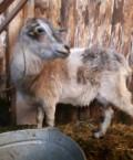 Коза, Рославль