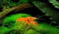 Рак карликовый в аквариум, Казьминское