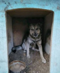 Собака-волчонок, Русский Камешкир