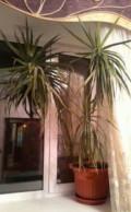 Красивые комнатные растения, Икша