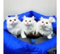 Шотландские котята, Апрелевка
