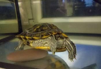Отдам красноухою черепаху в добрые руки