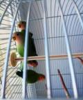 Попугаи Неразлучники, Чебоксары