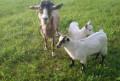 Коза с козлятами, Трубчевск