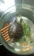 Черепаха Красноухая, Вурнары