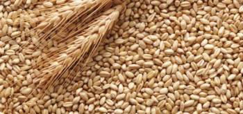 Пшеница фуражная