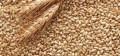 Пшеница фуражная, Большая Черниговка