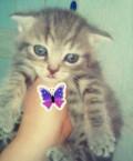 Вислоухий котик, Пригородное