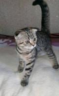 Шотландские котята, Кисловодск