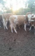 Крс, быки, телки, Поспелиха