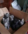 Котята от британки, Шебекино
