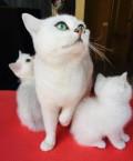 Элитные британские котята, Ханты-Мансийск
