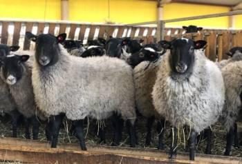 Ярки и овцы романовской породы