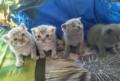 Шотландские котята, Ивот