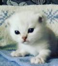 Шотландский породистый котенок, Пермь