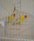 Попугаи- неразлучники, Болгар