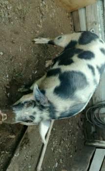 Продаю свинью живым весом