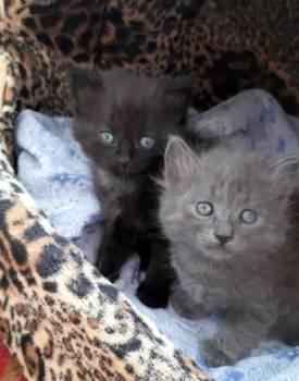 В добрые руки милые котятки