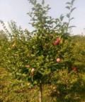 Крупномеры плодовых деревьев, Заворонежское