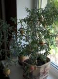 Цветок Гранат карликовый, Расшеватская