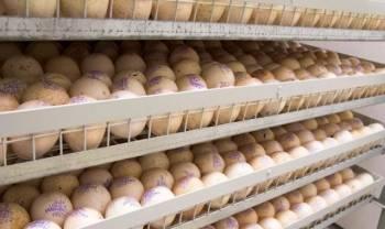 Инкубационное яйцо круглогодично