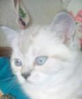 Шотландский кот, Комсомолец