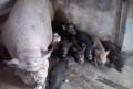 Животных продам, Борисовка
