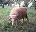 Баран и овечка, Погар