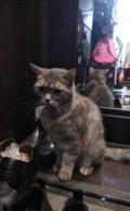 Найден кот, породы шотландец, Свободный