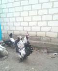 Петух и курица павловские. Пара, Томаровка