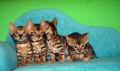 Бенгальские котятки с док-ми, Чучково