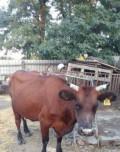 Продаётся молодая дойная корова, Николаевская