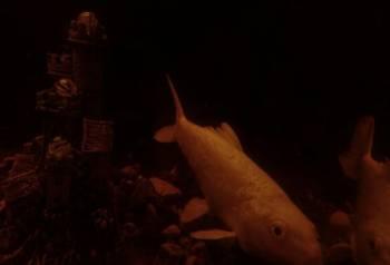 Рыба. Японский карп Кои