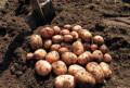 Картофель деревенский, свежего урожая. С доставкой, Бийск
