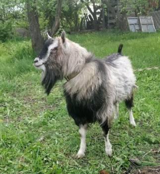 Племенной Альпо-нубийский козёл