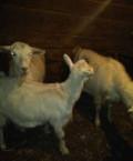 Дойные козы, Жердевка