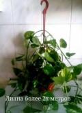 Цветок необычной окраски разных размеров, Лопатино