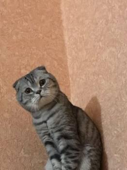 Шотландские вислоухие котята (скоттиш - фолд)