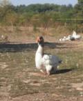 Холмогорские гуси, Зеленокумск