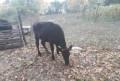 Теленок от дойной коровы, Солуно-Дмитриевское