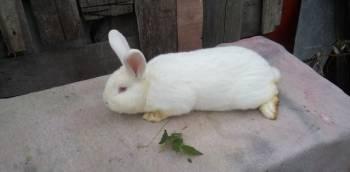 Продам чистокровных кроликов нзб и калифарнийские