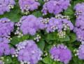 Продажа и доставка рассады цветов от частного питомника